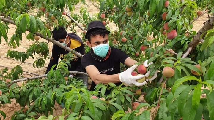 انتداب عمال في فرنسا لعملية جمع الغلال و تقليم الأشجار..